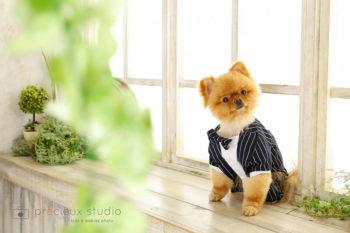 ハウススタジオでペット写真 ポメラニアン プレシュスタジオ撮影写真