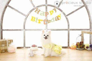 プレシュスタジオのペット撮影 お誕生日のポメラニアン